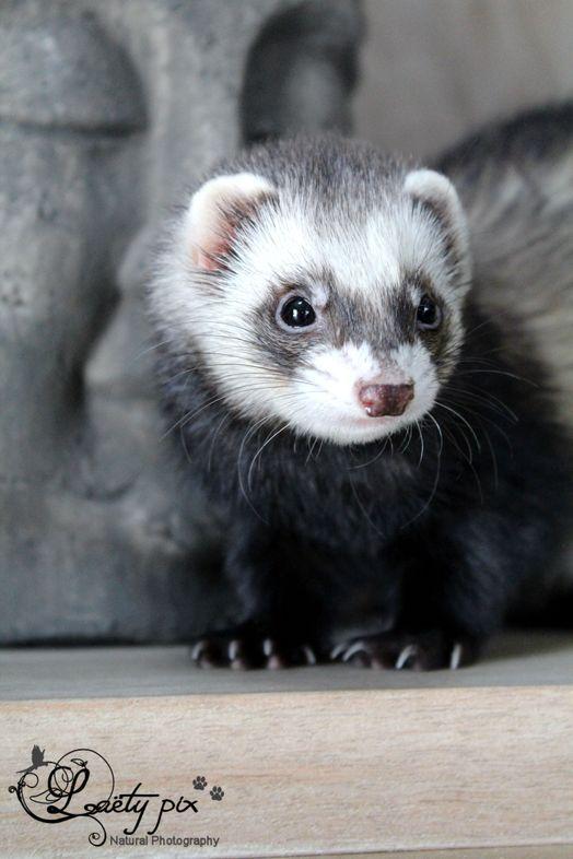 Yumi on www.yummypets.com.         I used to raise ferrets  loved them