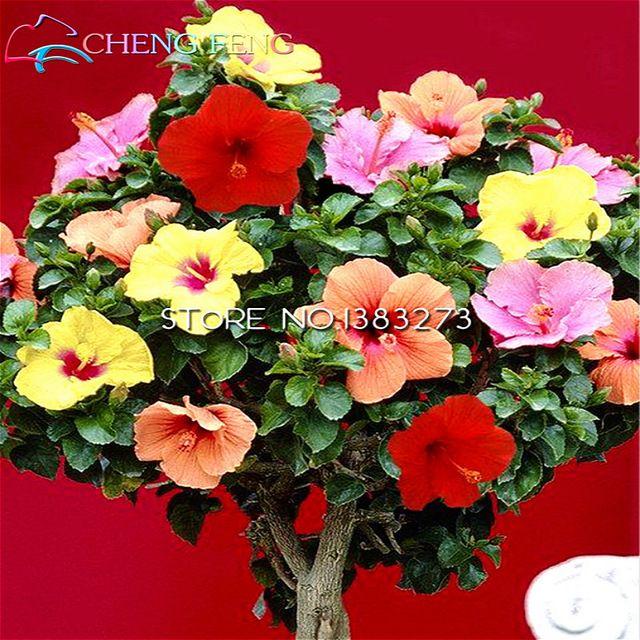 30 UNIDs Китайский Гигантские гибискуса семена цветов Цветы подарок для ваших лучших предложений Easy дети растут в покушении на сад посева семян