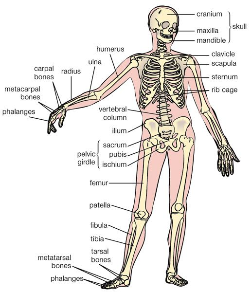 Human Bone Anatomy - A typical adult human skeleton consists of 206 bones, not counting many small and often variable sesamoid bones and ossicles. Individuals may have more or fewer bones than this owing to anatomical variations. The most common variations include additional (i.e. supernumerary) cervical ribs or lumbar vertebra.Sesamoid bone counts also may vary among individuals. The figure of 206 bones is commonly repeated, but must be noted to have some peculiarities in its method of…