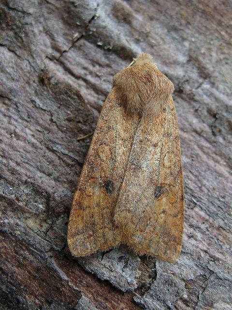 Brick Moth   Flickr - Photo Sharing!