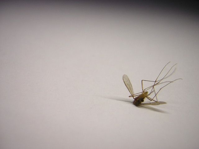 header muggen