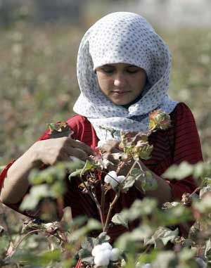 Tajik girl harvesting cotton - show kids where cotton comes from - NOT SHEEP