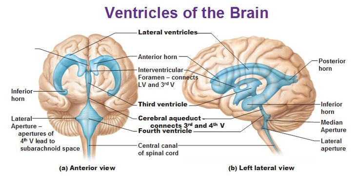 Ventricles of the brain Locate the following; (1) 2 x lateral ventricles (2) Third ventricle (3) Fourth ventricle (4) Cerebral aqueduct Choroid plexus lining the ventricles makes the CSF (cerebrospinal fluid). Brain floats in CSF and it acts as a shock absorber.