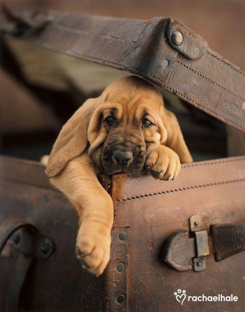 Cute Bloodhound!