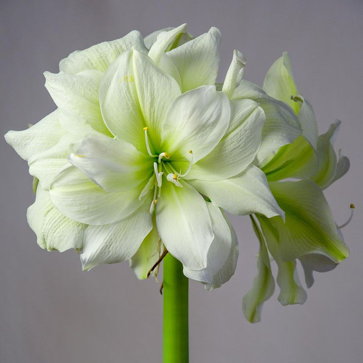 Amaryllis Bulbs | Amaryllis Marilyn | For Sale | Amaryllis ...