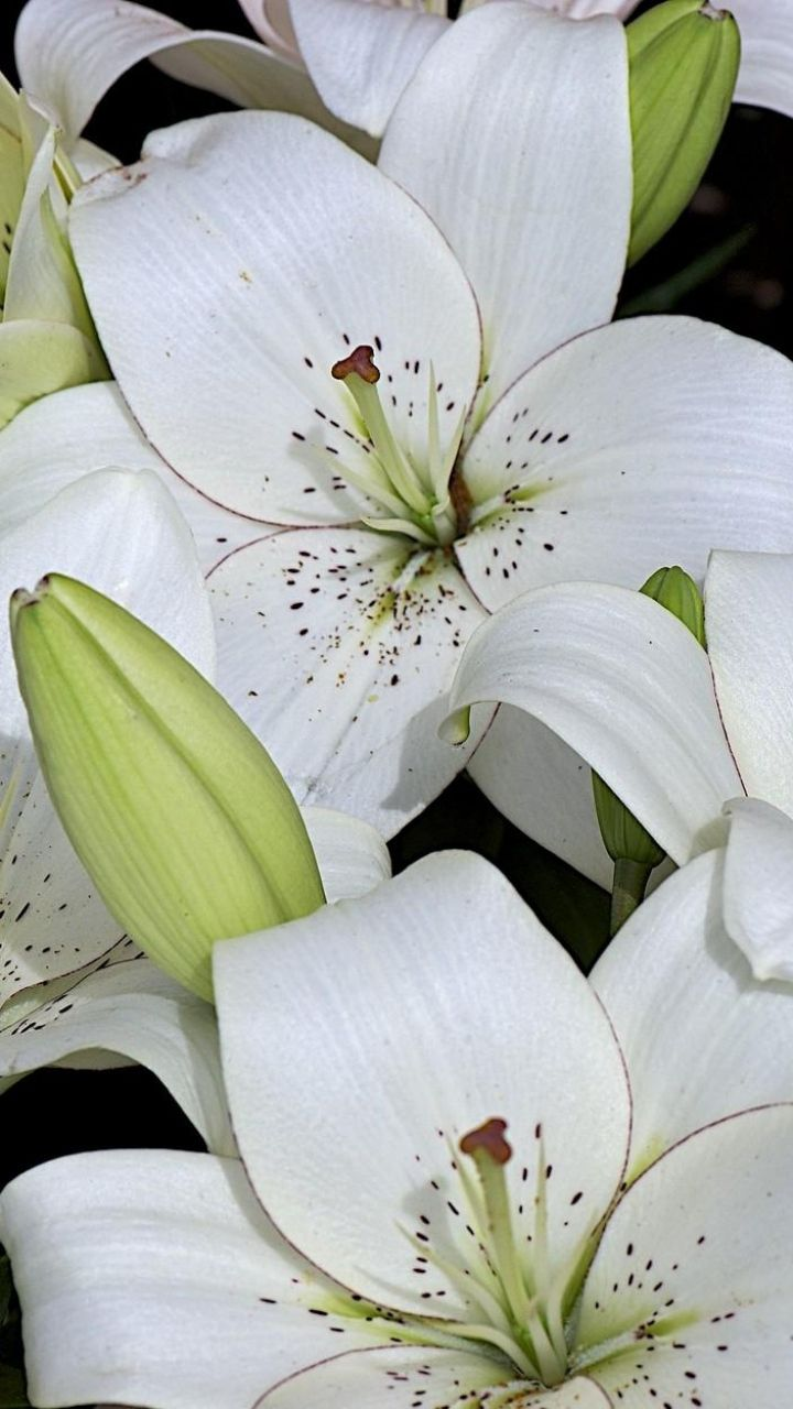 1276 best flower lily images on pinterest asiatic lilies lily 720x1280 wallpaper lily buds white many dhlflorist Choice Image
