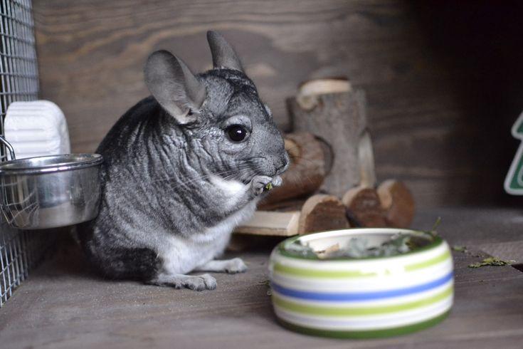 Eating chinchilla - jedząca szynszyla