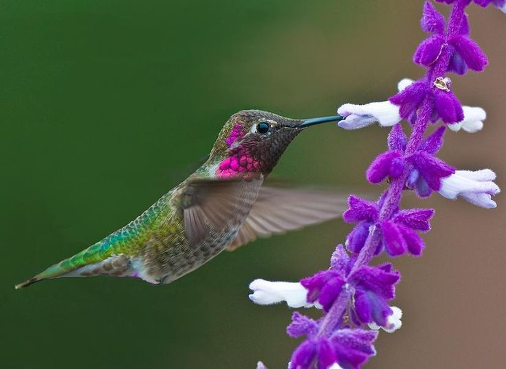 Hummingbirds are among the smallest of birds, most species measuring in the 7.5–13 cm range.  They can hover in mid-air by rapidly flapping their wings 12–80 times per second . They are also the only group of birds able to fly backwards.  They can fly at speeds exceeding 15 m/