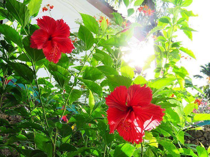 11/3(金)バリ島ウブドのお天気は曇り。室内温度29.0℃、湿度68%。午後になり、少し雲が出てきてしまいました。でも気温も高く暑い!夜は熱帯夜が続いています。 #今日も良い日になりますように #バリ #ウブド #熱帯夜 #ハイビスカス