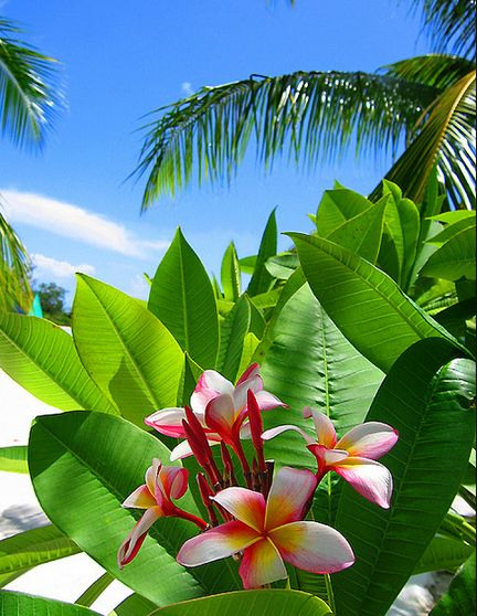 plumeria- I want these by my house. All I know about them though is that they are beautiful!!