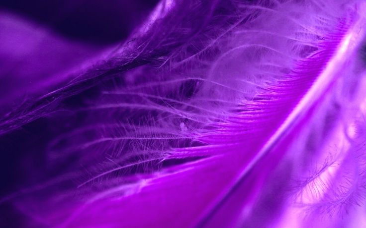 purple wallpaper | Purple Feather 1280x800px :::: Purple feathers photography