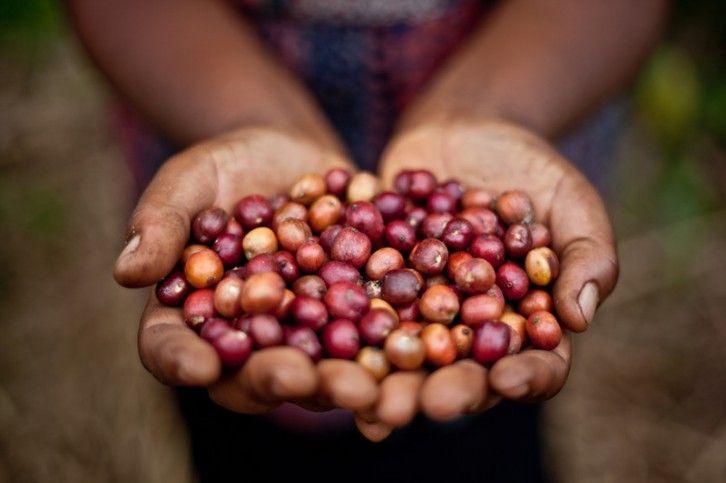 Granos de café recién recolectados © Pablo Tosco / Oxfam Intermón
