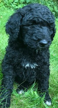 Litter of 9 Labradoodle puppies for sale in EAU CLAIRE, WI. ADN-42095 on PuppyFinder.com Gender: Male. Age: 7 Weeks Old