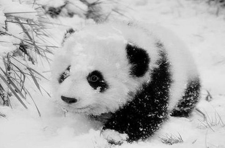 Cute Baby Panda Cub playing in the Snow