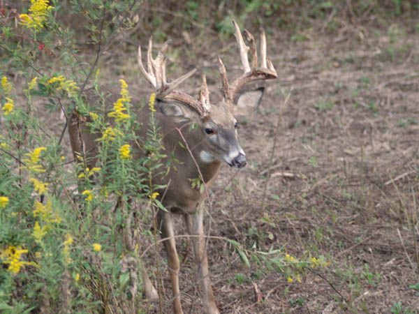 White Tail Buck: Pse Bows, Bows Bucks, White Tail, Sweet House, Tail Bucks