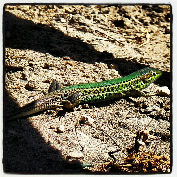 Very fast and very green lizzard..