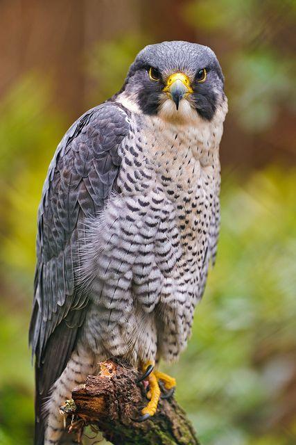 Beautiful perched hawk