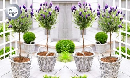 Two Standard or Large Lavender Trees from £19.99 With Free Delivery (Up to 67% Off)