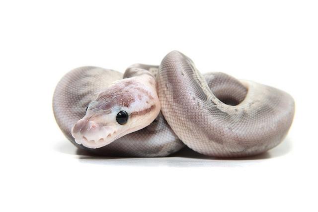 Silver Streak Ball Python