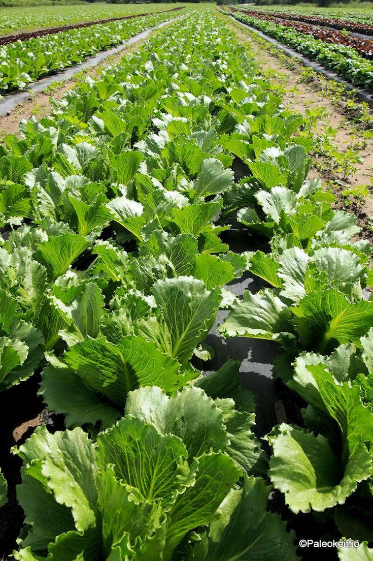 Mistä sun salaatti tulee? /// Tiedätkö, mistä sun salaatti tulee? Tai kiinnostaako sua ylipäätään, mistä ruokasi tulee? Mua kiinnostaa, ja toivoisin tietäväni laajemmaltikin, millaisissa olosuhteissa ja miten syömäni ruoka tuot…
