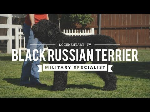 BLACK RUSSIAN TERRIERS MILITARY MADE MILITARY GRADE - http://www.dressmypup.net/2017/05/27/black-russian-terriers-military-made-military-grade/ #cutepuppies #funnydogs #cuteanimals #funnyanimals #puppies