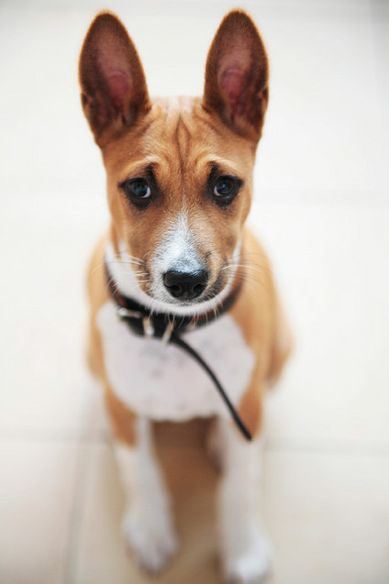 Basenji- a dog from Africa-its voice sounds more like a yodel then a bark, they have wrinkles on their foreheads, their tails curl up over their back, they can run like a deer & climb like a monkey. Max height: 17 inches max weight: 26 lb