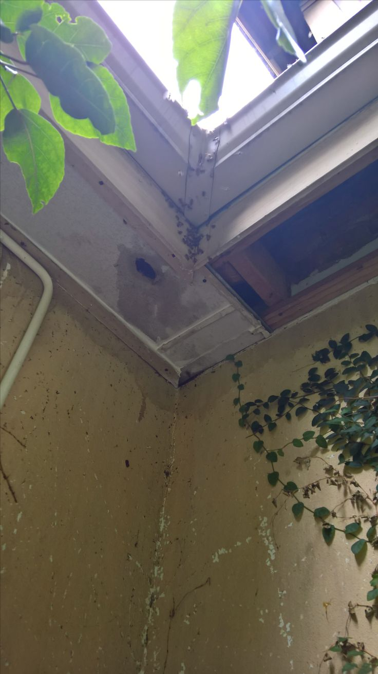 Bee-removal in Johannesburg , removed bees ceiling-skirting   . roodepoort