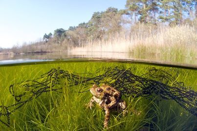 Wonderful underwater photograph of common toads (Bufo bufo) and their spawn strings. Very different from our common frog (Rana temporaria) clumps. Have you ever seen toad spawn strings?