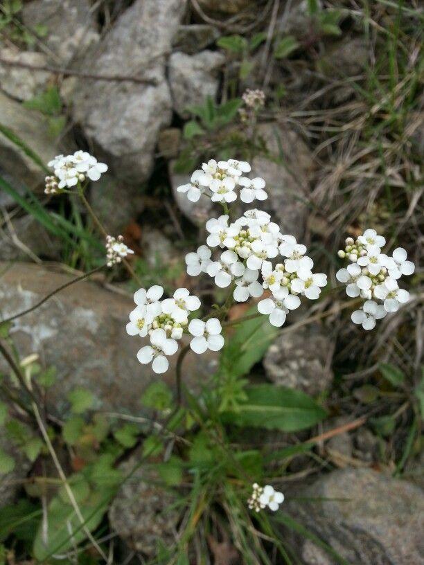 Beyaz dağ çiçeği #gümüşhane