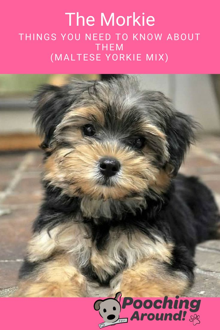 The Morkie Things You Need to Know About Them (Maltese