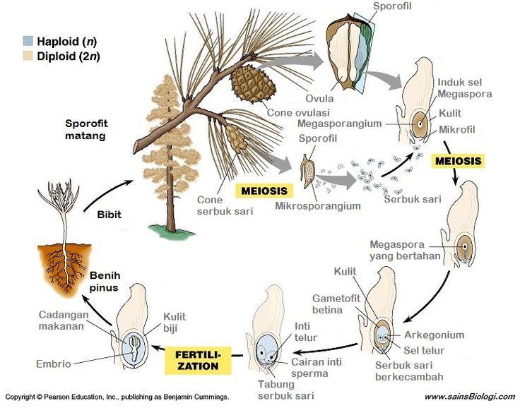 12 best kingdom plantae images on pinterest life science physical science and plants. Black Bedroom Furniture Sets. Home Design Ideas