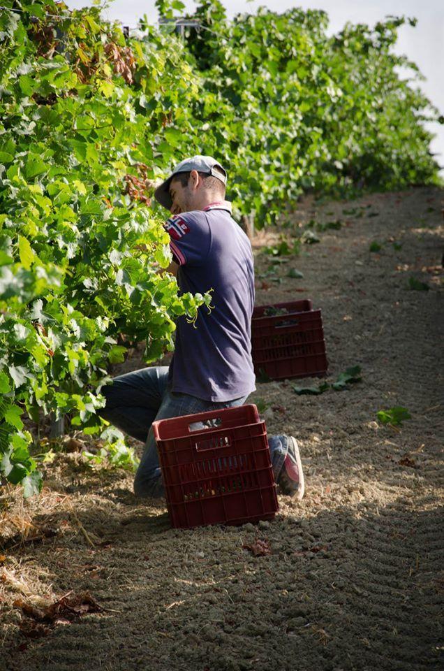 Harvest @ Lyrarakis #Wines
