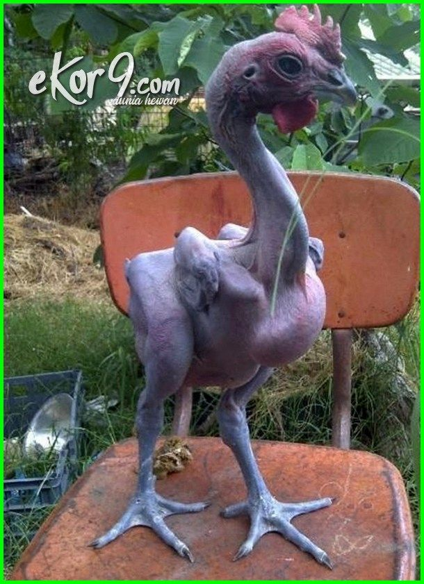 Ayam Tanpa Bulu Joget Lucu Ekor Leher Ditemukan Solo  Di Bali Dari Israel Telinga Jateng