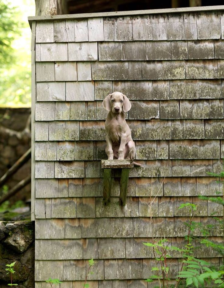 Perch. Photo by William Wegman.