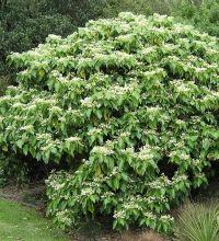 Entelea arborescens, Whau, New Zealand native