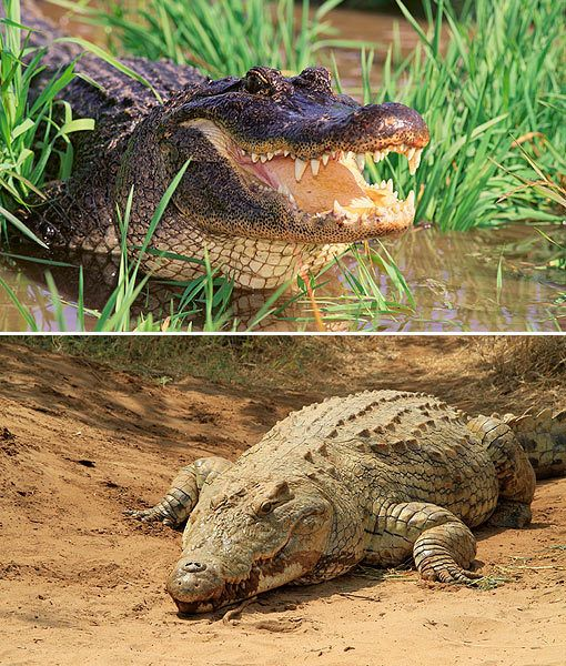 Biology/ Alligators And Crocodiles term paper 16678