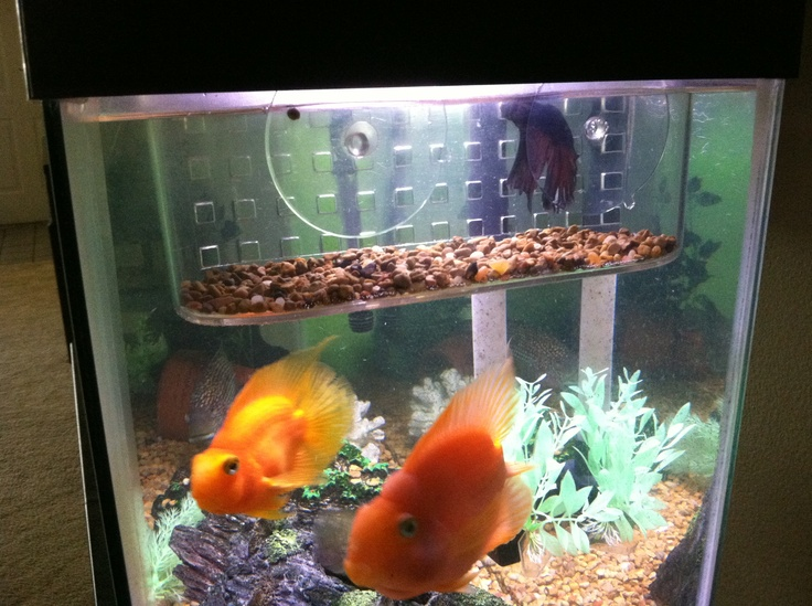 96 best images about fish tank aquarium on pinterest for Can you put betta fish with other fish