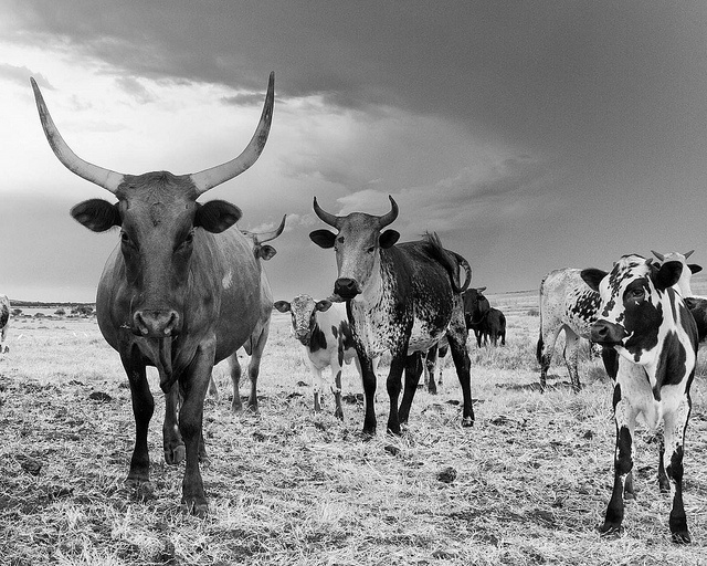 Nguni Cattle by Janine Lessing, via Flickr