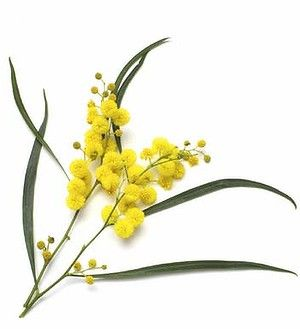 wattle botanical print - Google Search