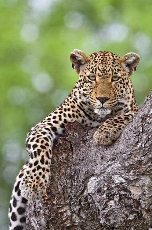 Leopard by Adventures in Africa