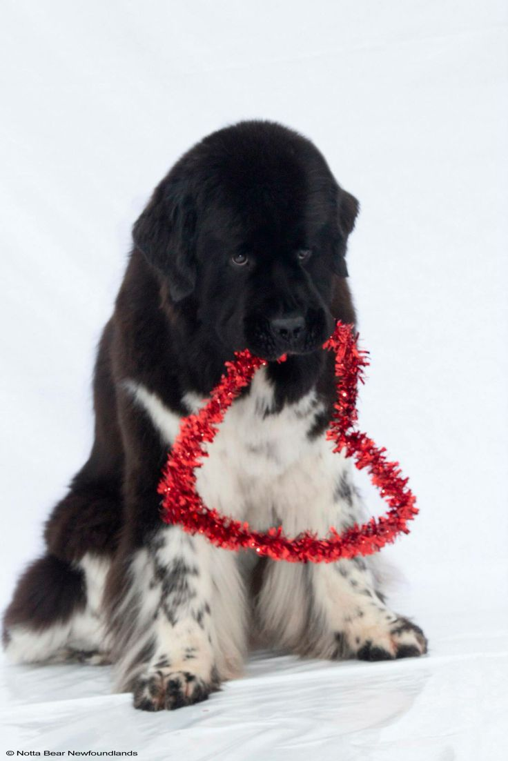 35 very beautiful newfoundland dog pictures - Love From This Landseer Newfie Cubsnewfoundland Dogsvalentinesbig