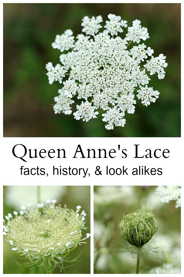 Queen Anne S Lace An Interesting And Beautiful Wildflower Queen Anne S Lace Flowers Queen Annes Lace Flower Garden