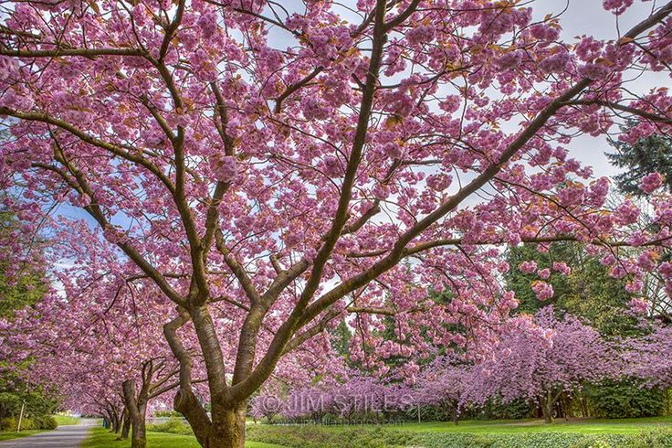 Rainier cherry tree blossoms images galleries with a bite - Romanian cherry tree varieties ...