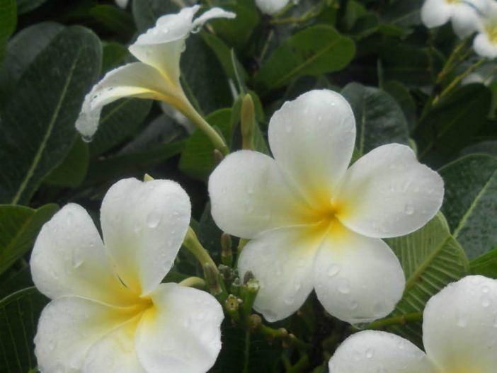 Plumeria Obtusa Singapore Graveyard Flower World Of Flowering Plants Flowers Plumeria Flower Lei