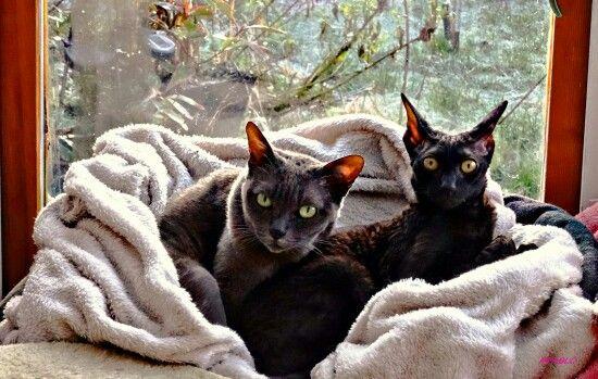 Lovbug & Pusscat (Korat)