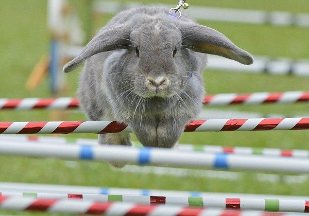 Rabbit 'Marry Lou' clears an obstacle during the Kaninhop (rabbit-jumping) Championships in Weissenbrunn vorm Wald, southern Germany. Obstacles along the course range in height from 25 - 40 cm. Agility, courage and determination are said to be just some of the attributes needed to become a champion jumper at the prestigious event, which originated in Sweden in the early 80s.   via metro.co.uk #Rabbit #Rabbit_Jumping #Kaninhop #Weissenbrunn_  Vorm_Wald #Germany #metro_co_uk