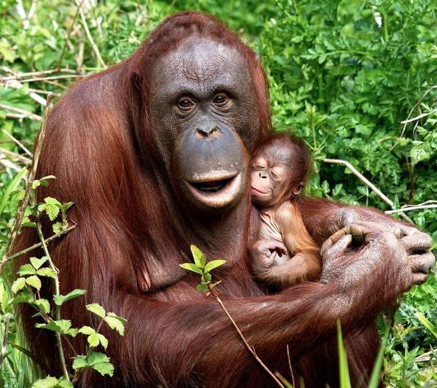 Orangutan Mother. There's no moral difference between the animals, birds, fish, and insects we hunt, those we use for entertainment, those we kill for food and use as commodities, and those we love as members of our families. All animals, birds, fish and insects are sentient and have a right to live. Go vegan and stay vegan for them. It's the least we can do. Start here: www.befairbevegan.com Adopt, spay and neuter your companion animals!