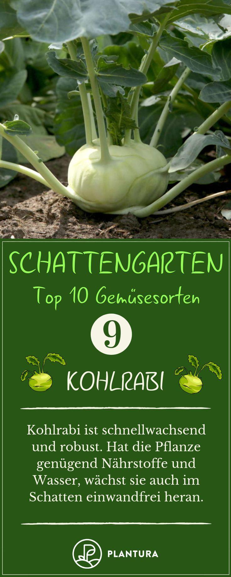 Schattengarten – Kohlrabi: Kohlrabi schmeckt super lecker und ist sehr leicht an… – Gruppenboard Gemüsegarten