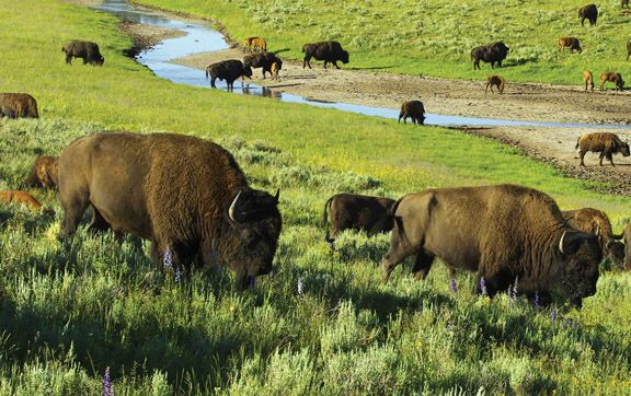 Oh to see the wild bison roam! Just one of the many amazing sights in the United States National Parks
