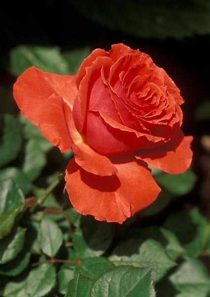 Impatient Rose. Pretty much continuous blooming it what makes this one. Bright, Bright color. Petals have ruffled edges. d Very thorny. Open saucer shaped blooms